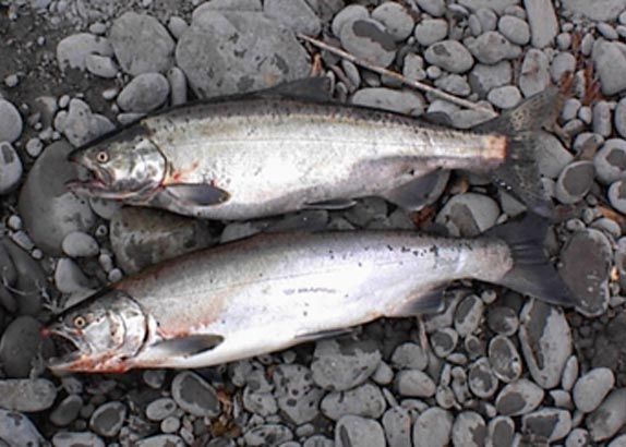 Fall Coastal Salmon