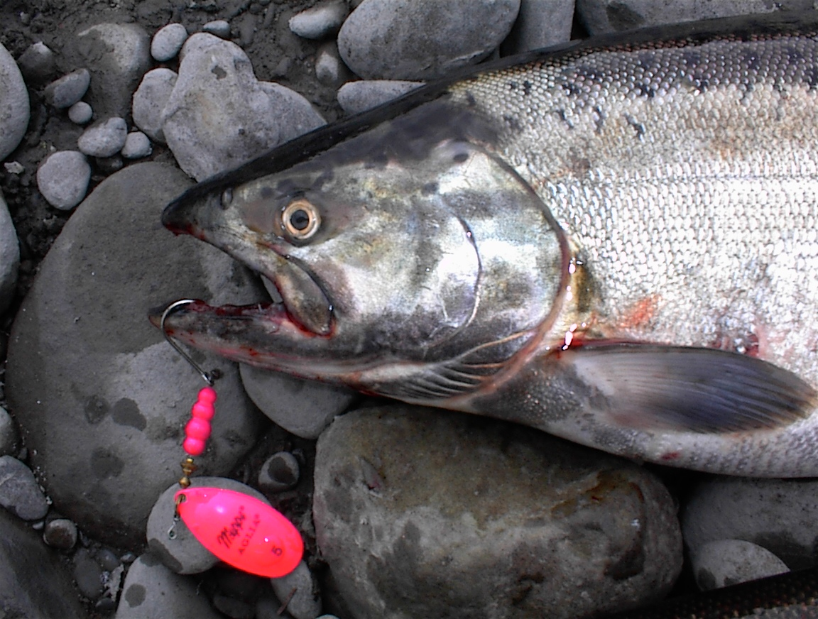 Fall Coastal Chinook Salmon
