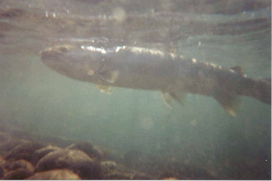 Underwater Dolly Varden